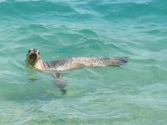 General - Swimming seal